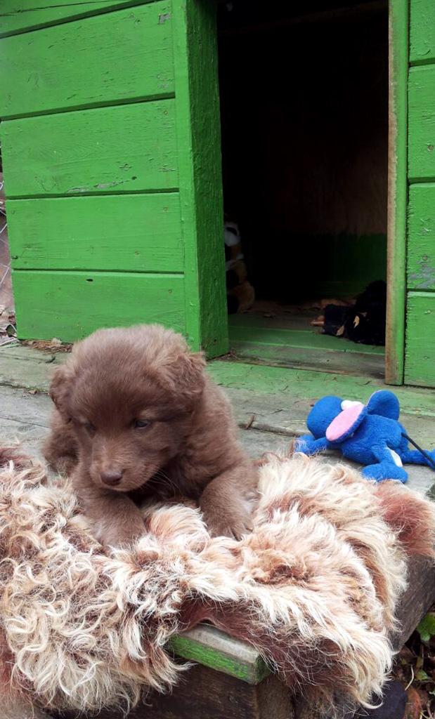 Положили в будку и рядом кучу игрушек, но ему больше всего понравилась лохматая шкура...