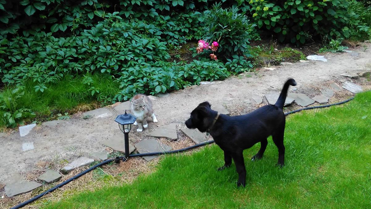 Еще одна кошка общается с щенком... А вы. наверно,  думали, что у меня только белый и рыжий кот... Это не так. Их у меня 6. Повторяю - Шесть!