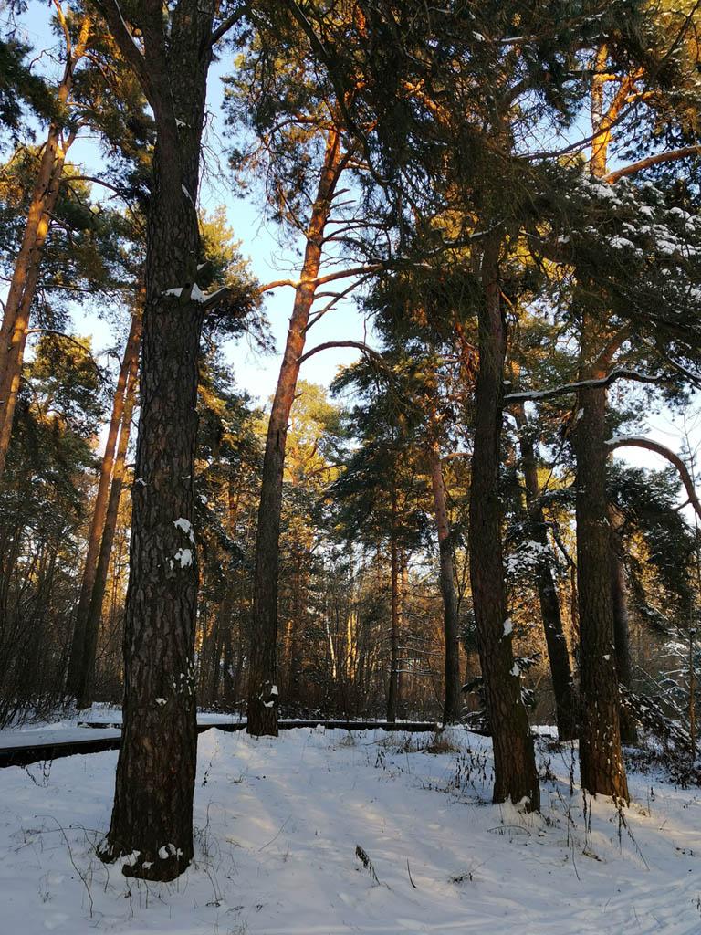 Сосны и снег в Серебряном Бору.