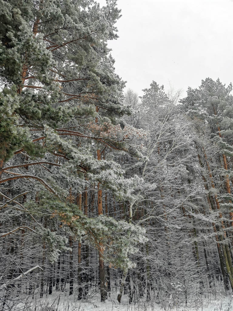 Сосновый лес в Белых столбах.