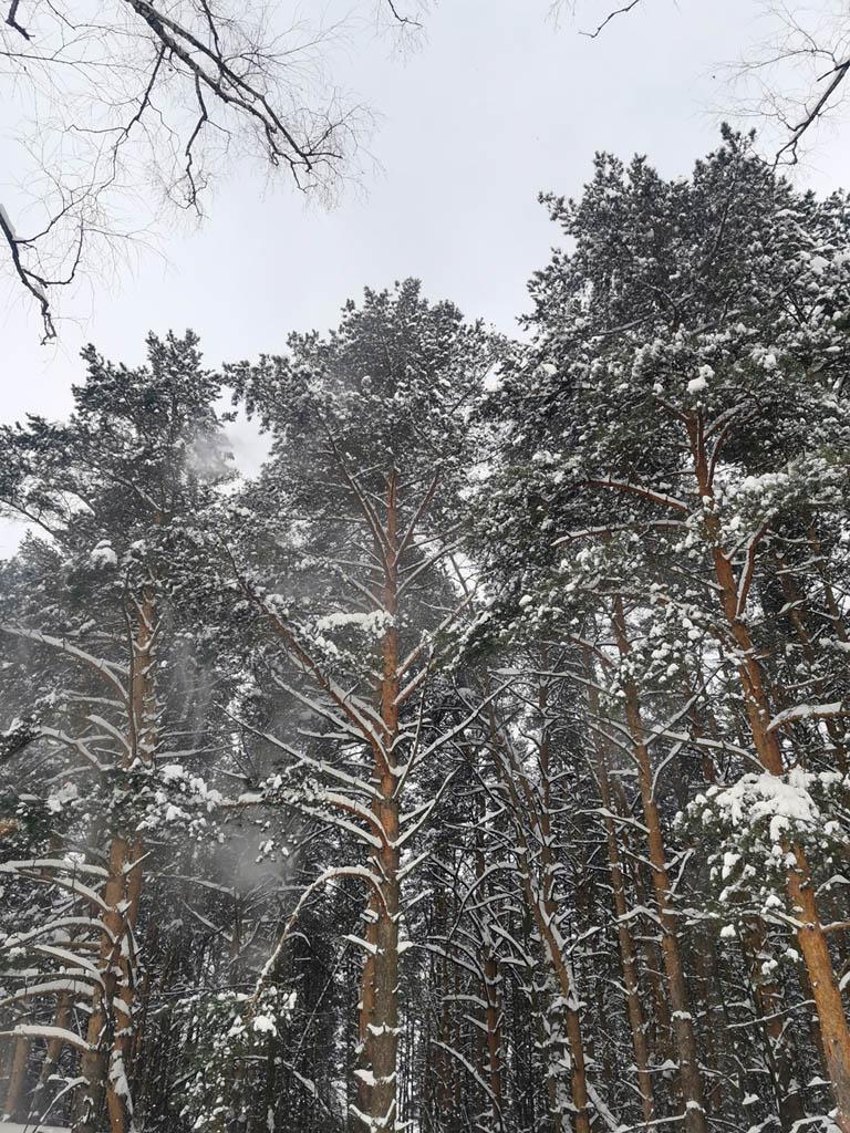 Снег осыпается с сосен при порывах ветра...