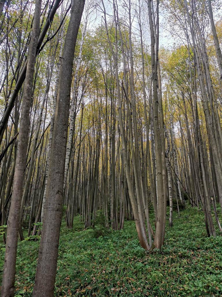 И частоколом деревьев с тонкими стволами...