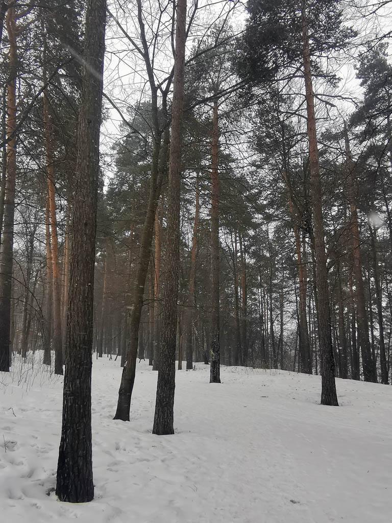 Сосны в Тимоховском парке