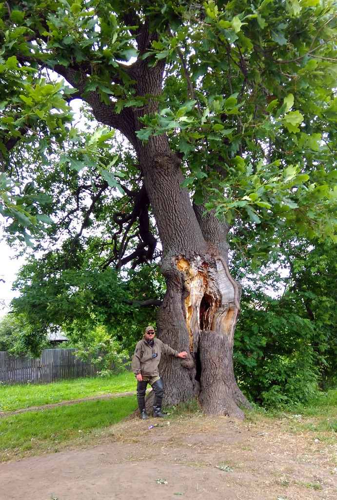 Село Руново. Дуб черешчатый (Quercus robur) возраст более 200 лет. Памятник природы.
