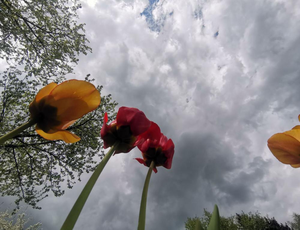 Тюльпаны тянутся к небу