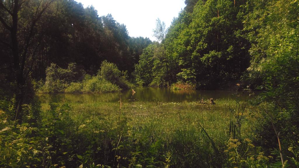 Но есть и места без борщевика. Идем через лес к пруду.