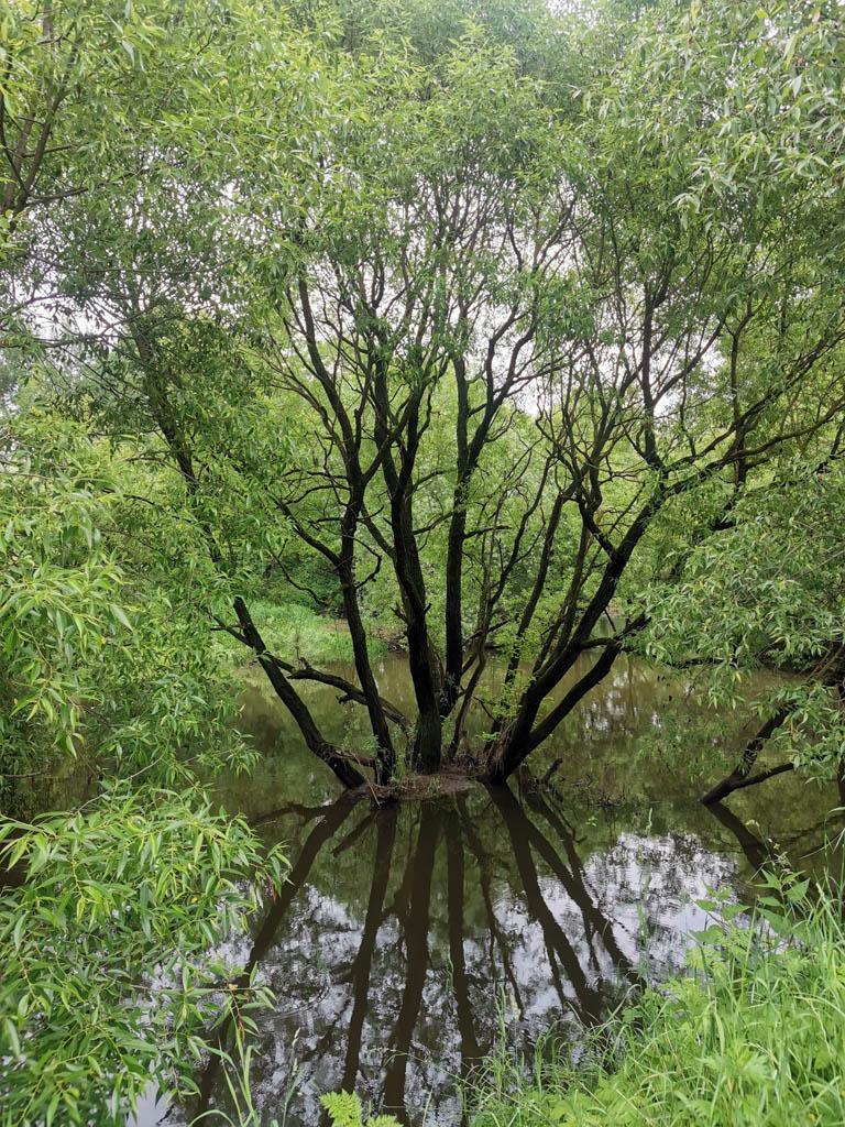 Красивое дерево в русле реки Рожайка.