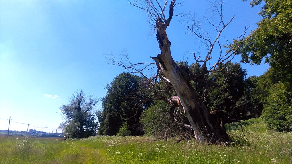 Старое большое дерево около Храма.