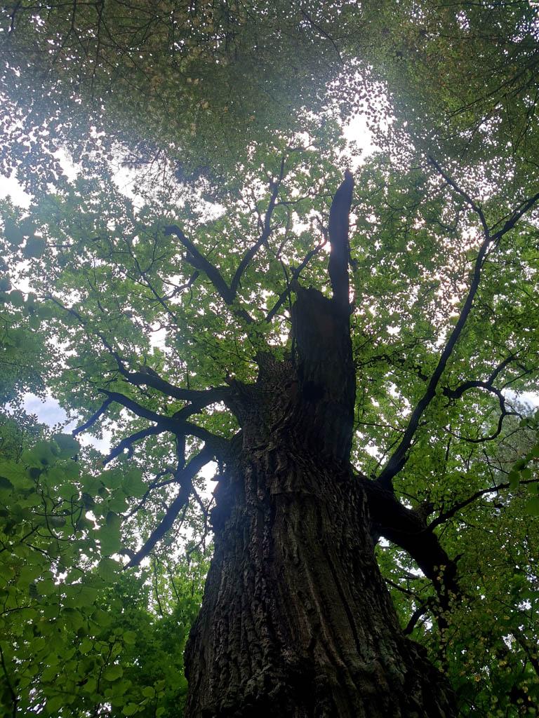 Величественное дерево....