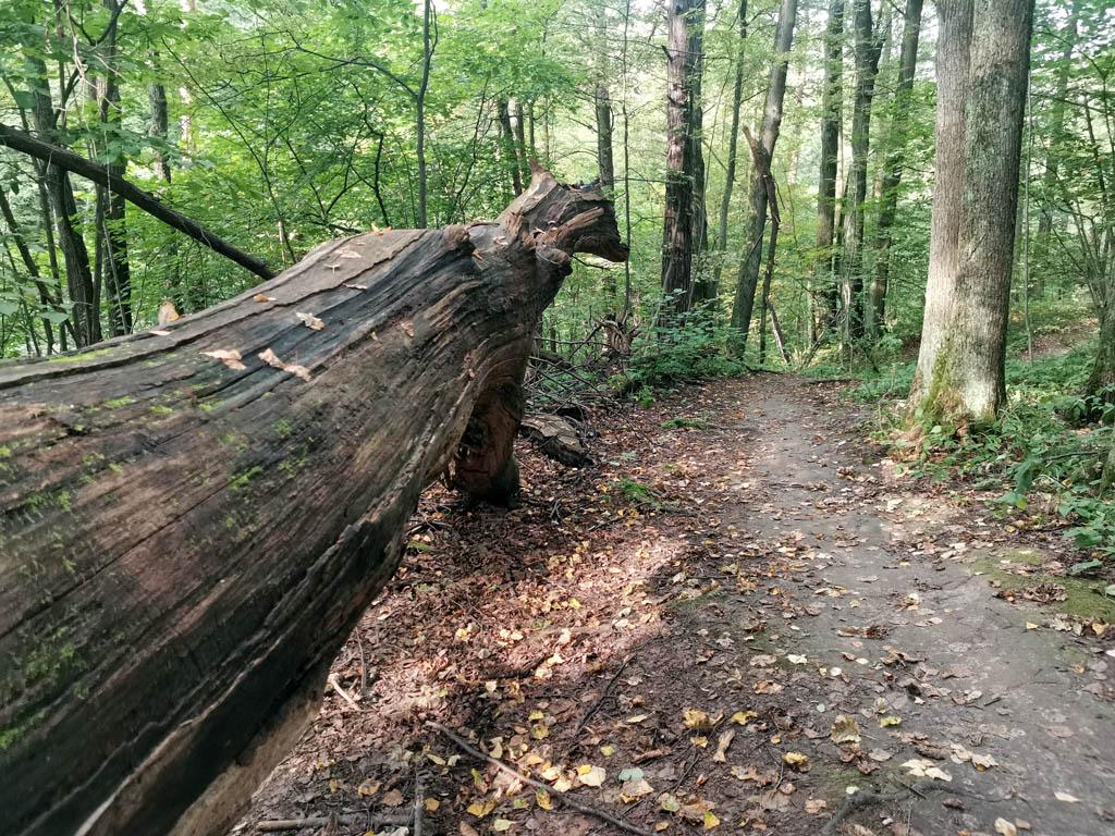 Тропинка вдоль реки и огромный ствол упавшего дерева.