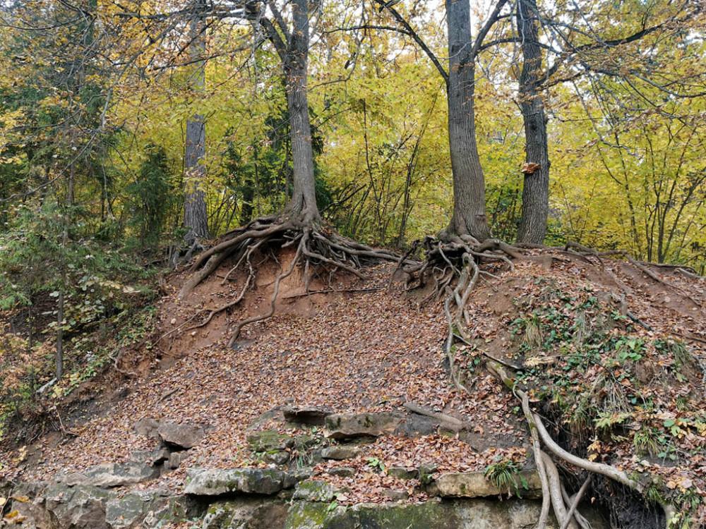 День триффидов... Именно эту книгу я вспомнил, увидев корни растущих на камнях деревьев.