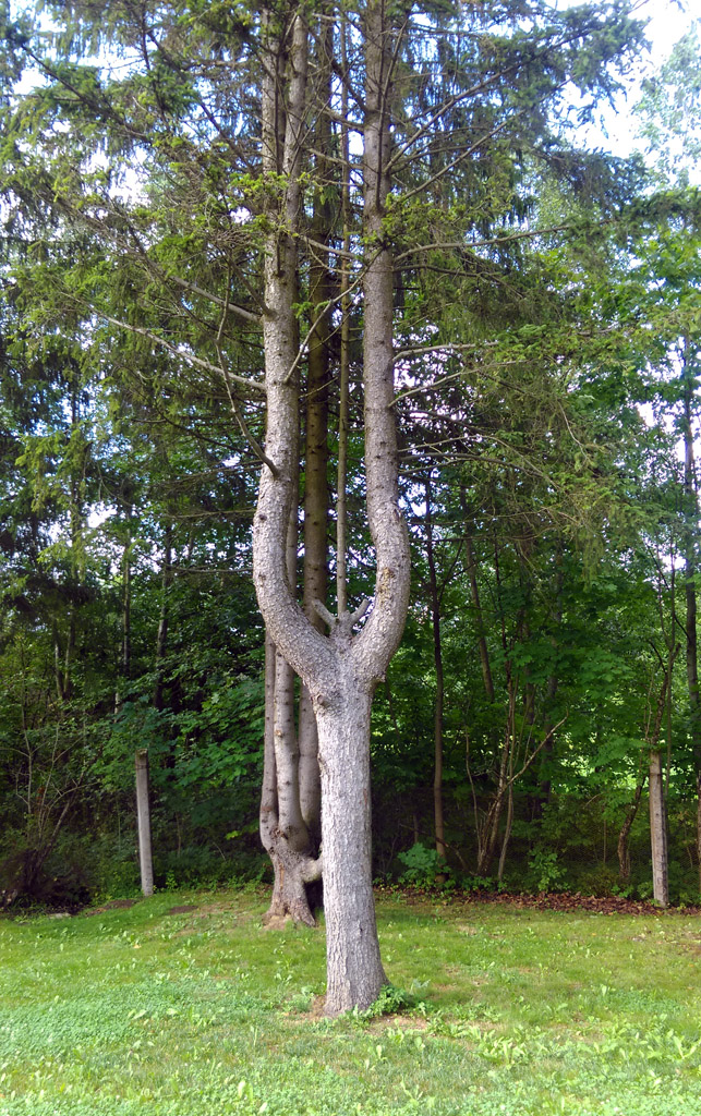 Она же ближе. За ней тоже дерево с необычным стволом. Совпадение? Не думаю! (с)