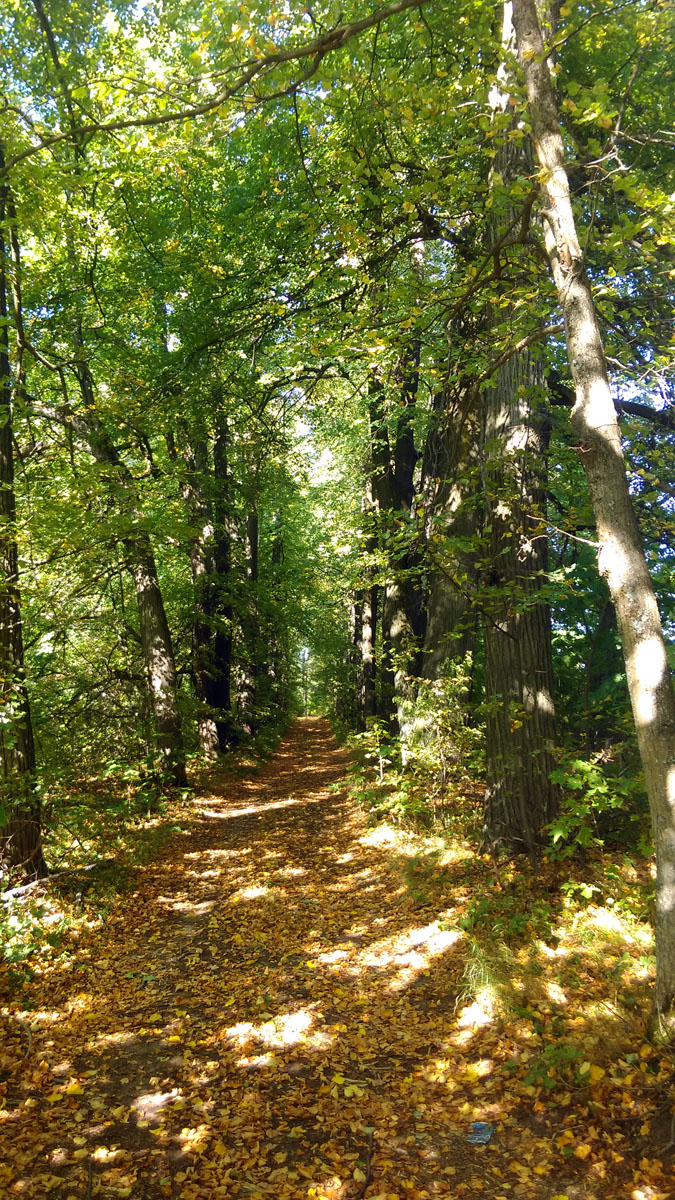 Липовая аллея усадьбы. Аллея ведет к лесу и яблоневому саду. Но до сада я уже не дошел.