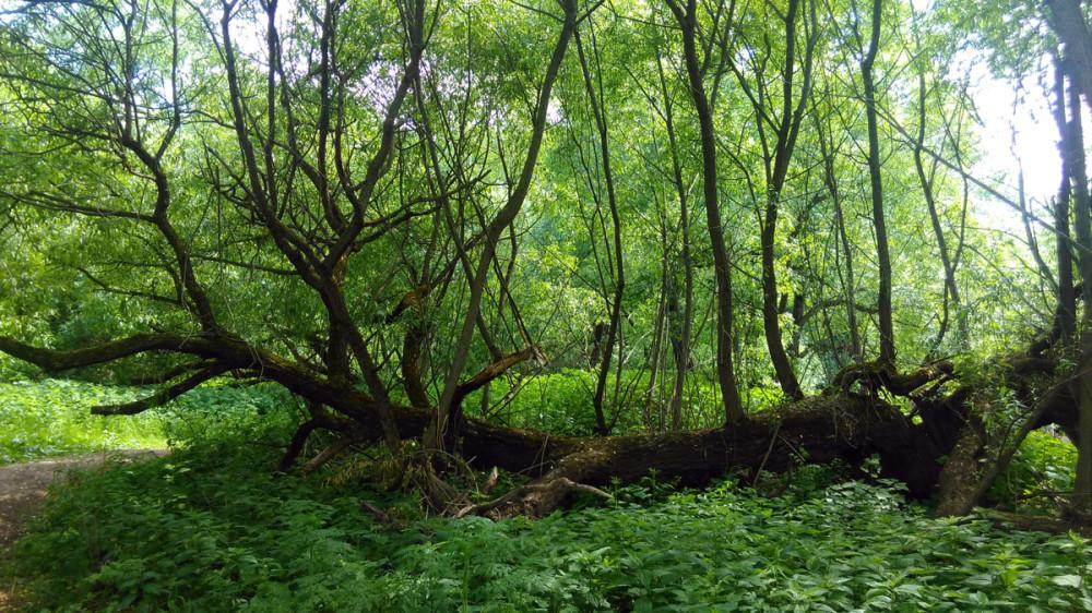 Никогда не сдавайся! Дерево на берегу Рожайки упало, но от его упавшего ствола вверх устремились новые молодые стволы.