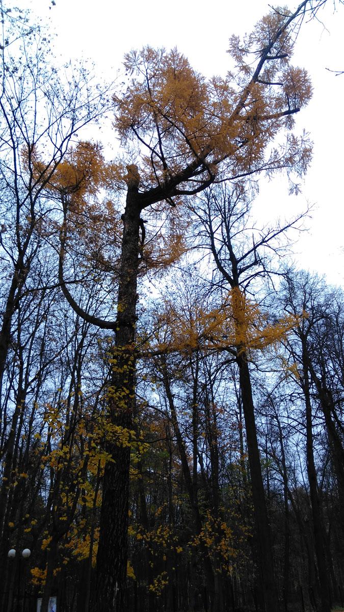 Сибирская лиственница. Огромное, около 30 метров высотой, дерево.