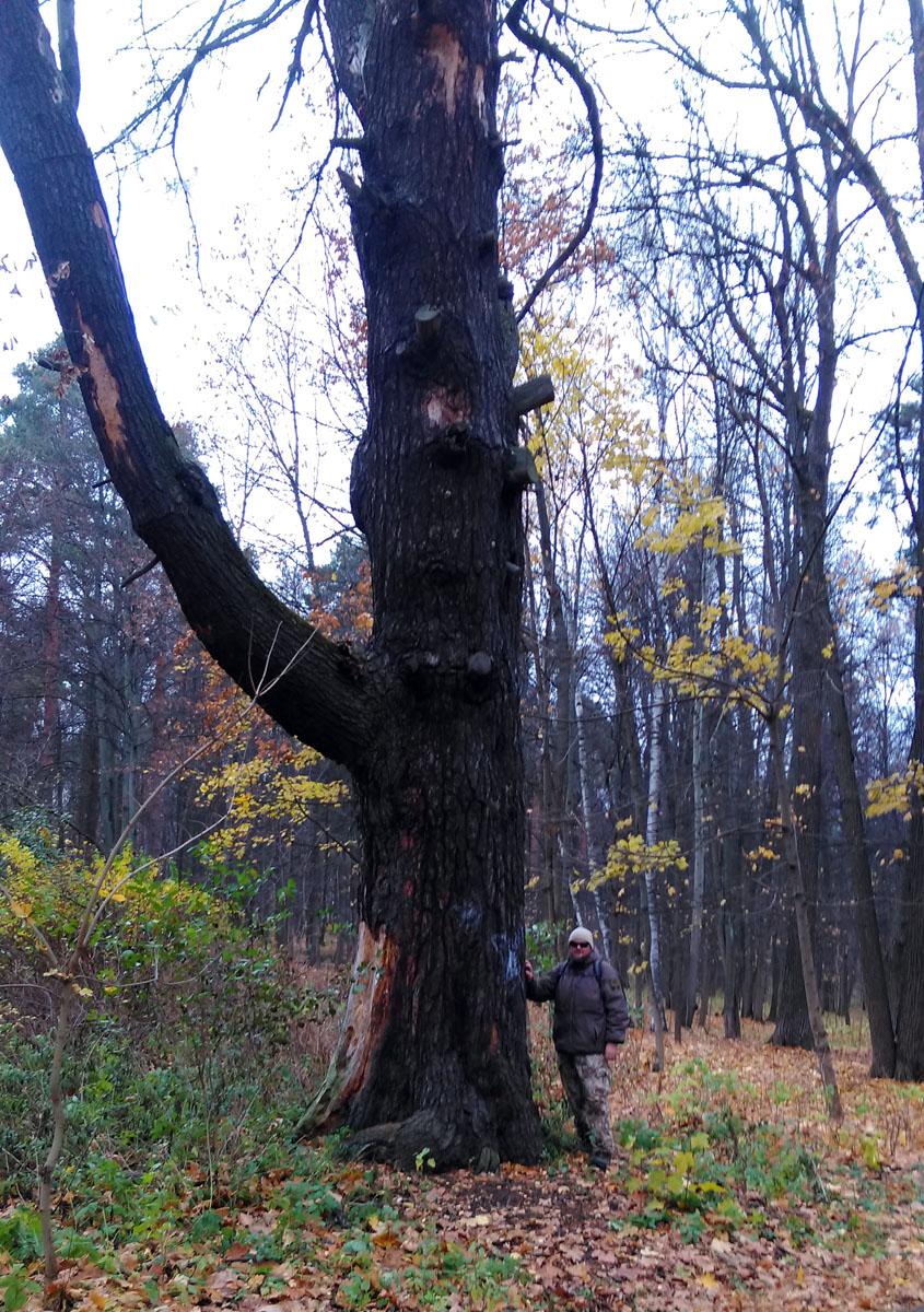 Еще один великан (слева). Увы, дерево погибло.