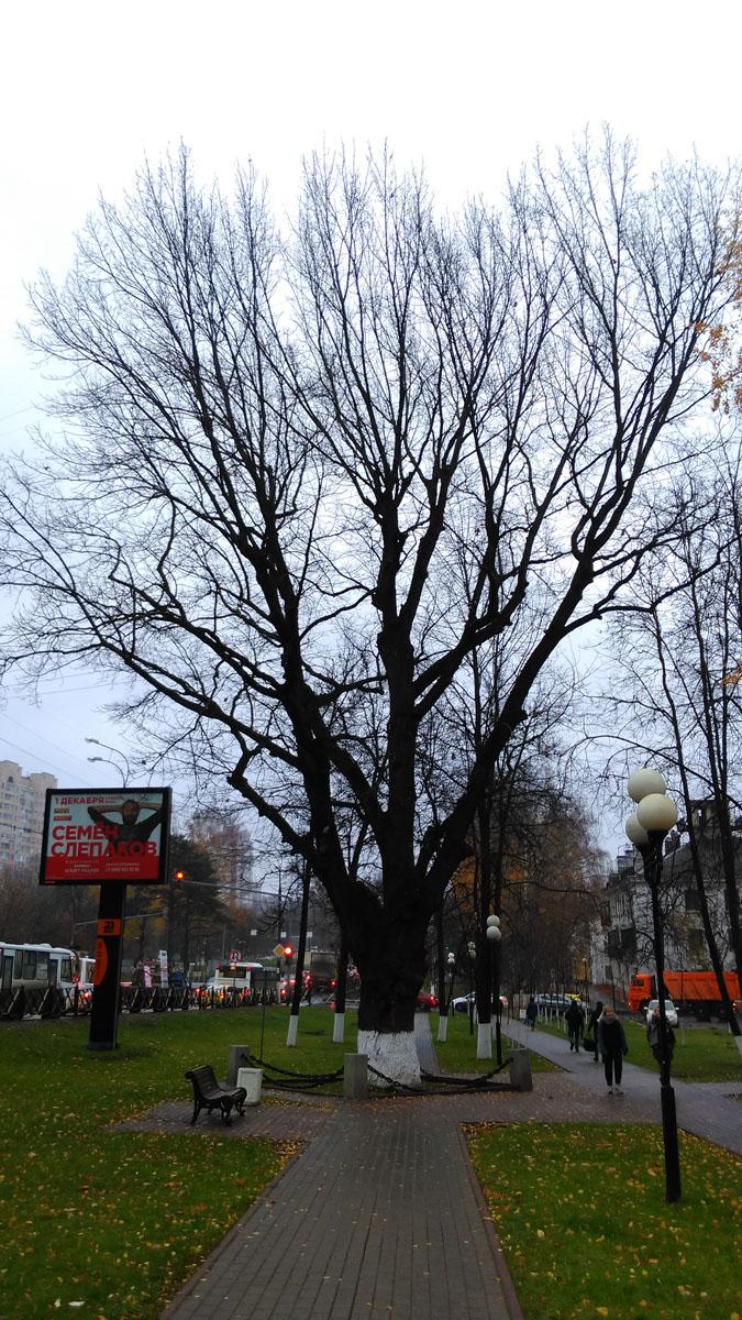 Дуб около Волоколамского шоссе. Памятник природы. Примерно 260 лет. Высота 25 метров.