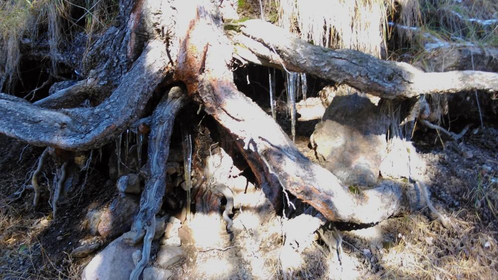 Корни сосны и сосульки. Солнце начинает растапливать снег. По склонам время от времени скатываются камушки.