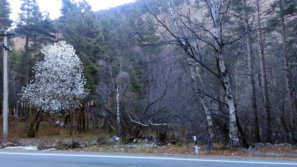 Цветущая сакура. Нет, конечно. Откуда в октябре в Приэльбрусье цветущая сакура.