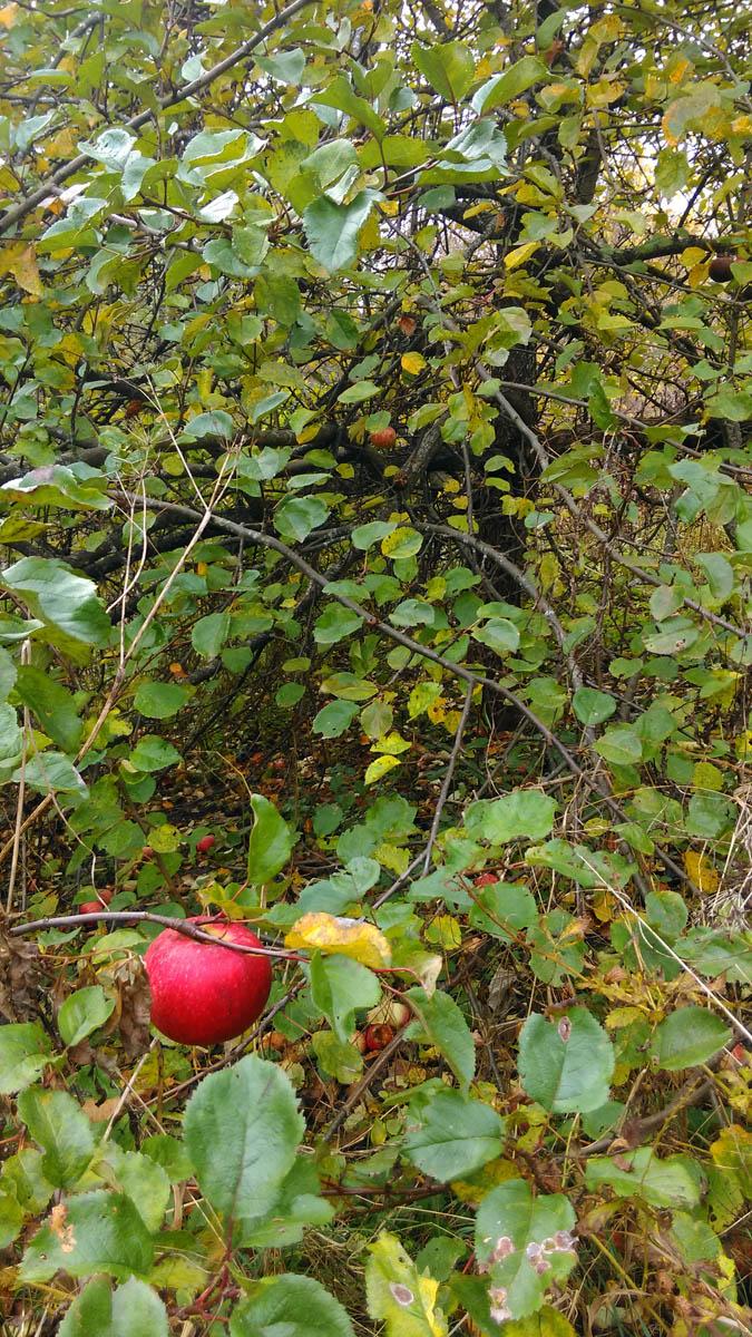 Вкусные, сладкие, слегка переспевшие яблоки.