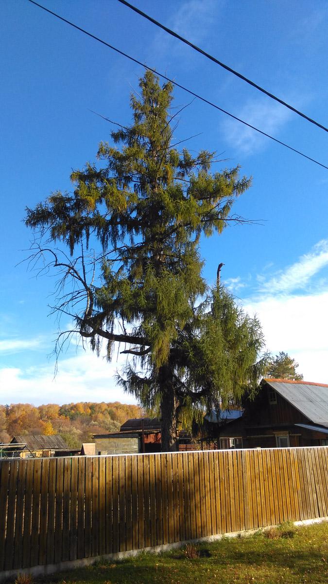 По дороге к Храму в Старой Ситне растет лиственница великан.