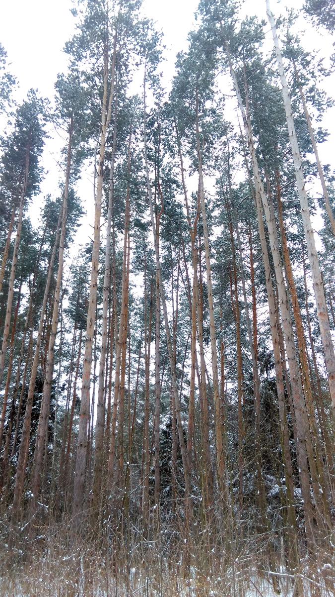 Сосновый лес на юго-западе Белых Столбов.