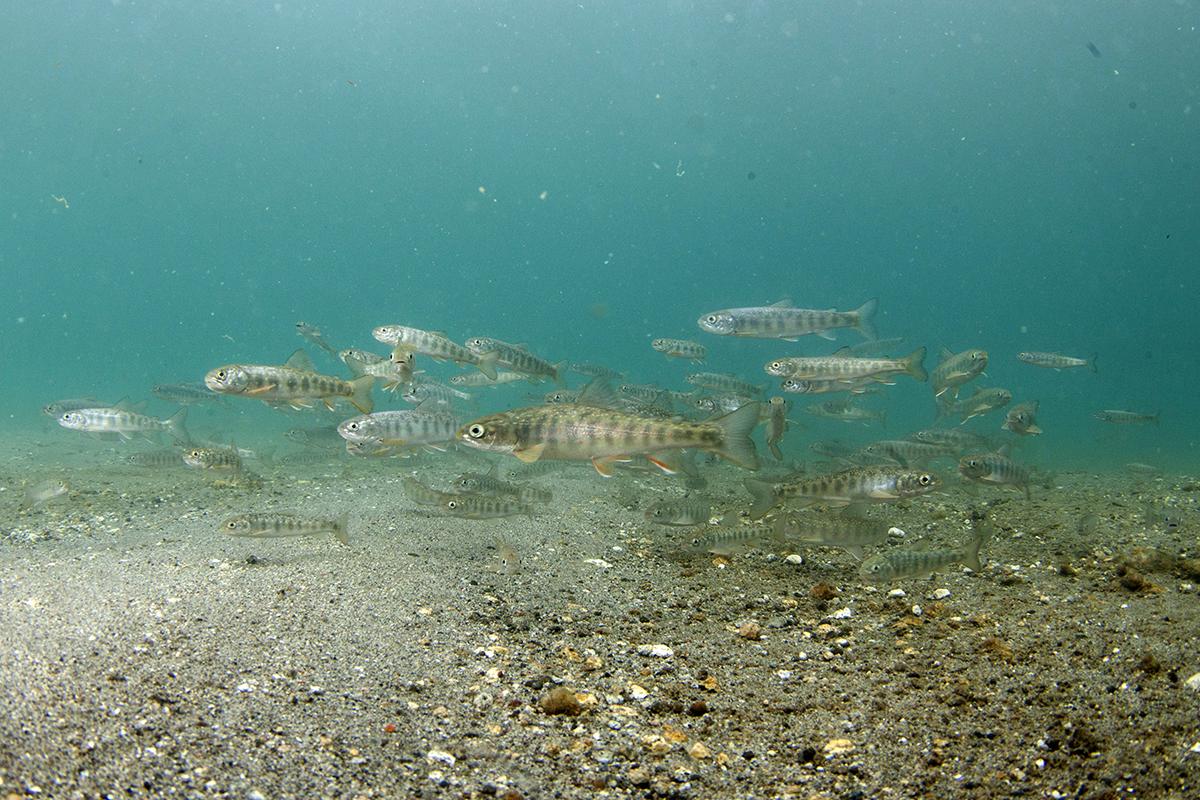 Рыбы охотского моря фото и описание