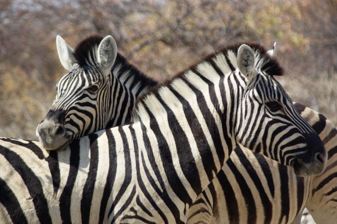 Картинки зебра в хорошем качестве