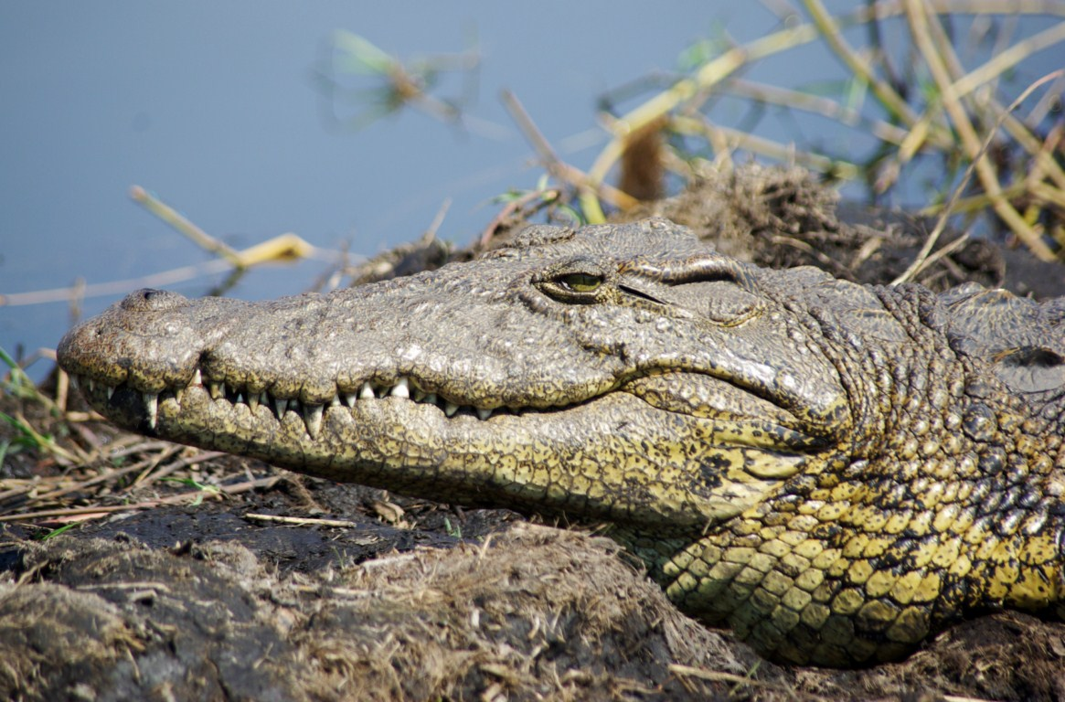 картинка крокодил в африке