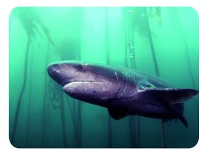 Семижаберные акулы (ЮАР)