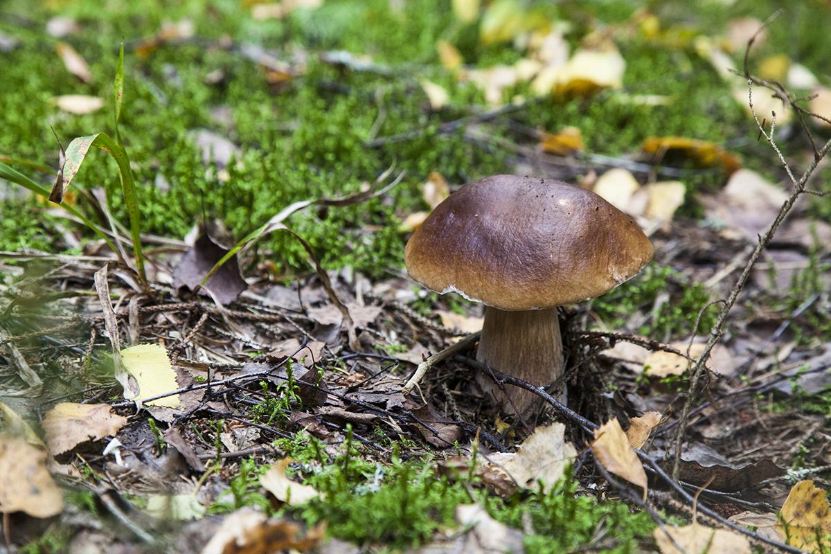 данном разделе какие грибы растут в тверской области фото проходит через