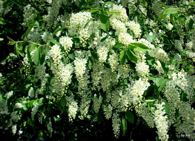 Цвет черемухи