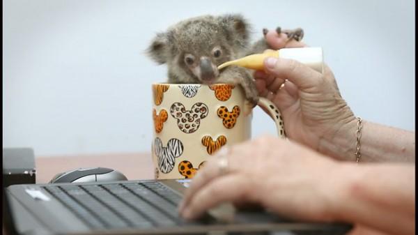686274-raymond-the-baby-koala-spends-the-day-at-work-with-his-carer-julie-szyzniewski