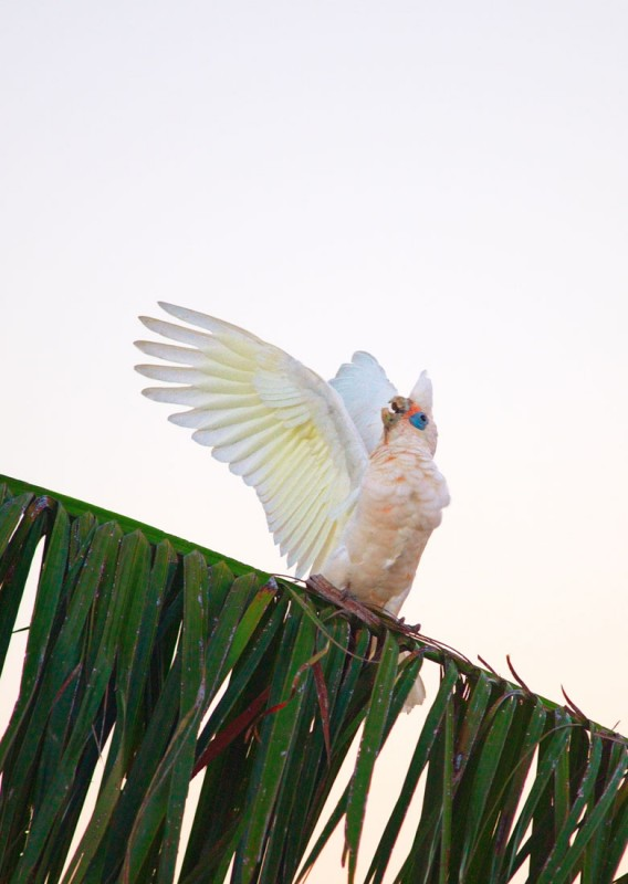 Happy Corella 1.jpg