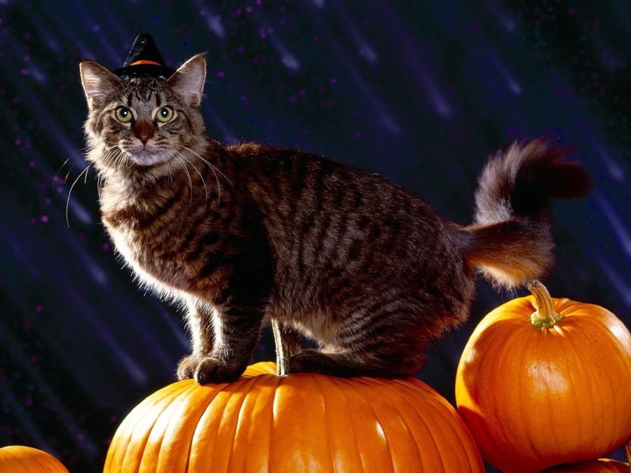 Halloween, праздник, кот, тыквы, 1600x1200