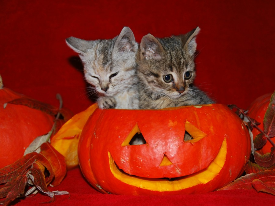 cats-wallpapers-46-halloween-cats-pics