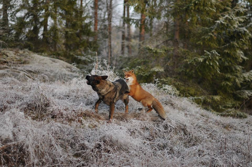 pics-real-life-fox-and-the-hound-3