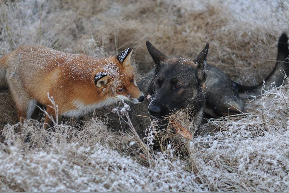 pics-real-life-fox-and-the-hound-5