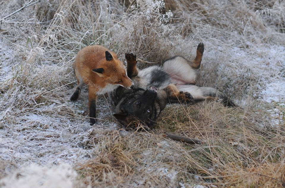 pics-real-life-fox-and-the-hound-6