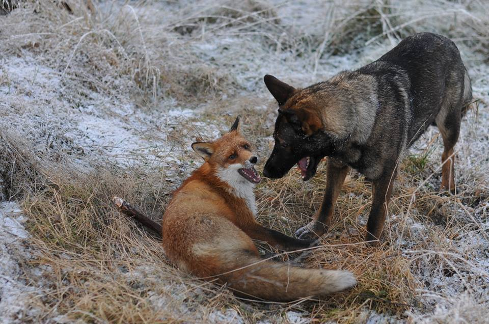 pics-real-life-fox-and-the-hound-7
