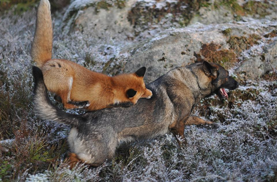 pics-real-life-fox-and-the-hound-9