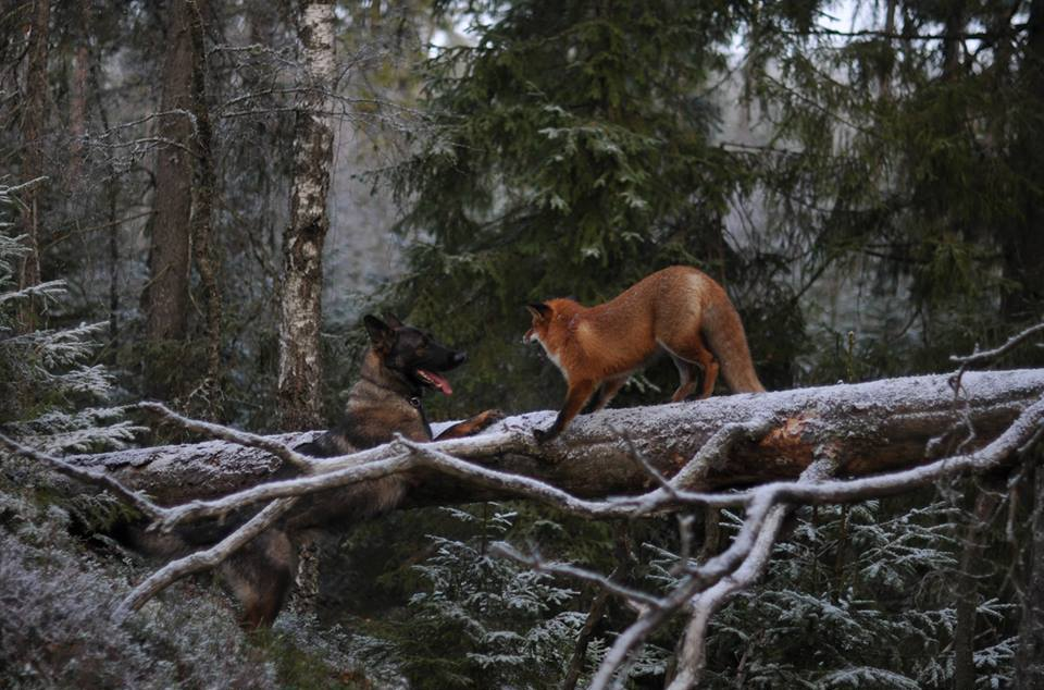 pics-real-life-fox-and-the-hound-10