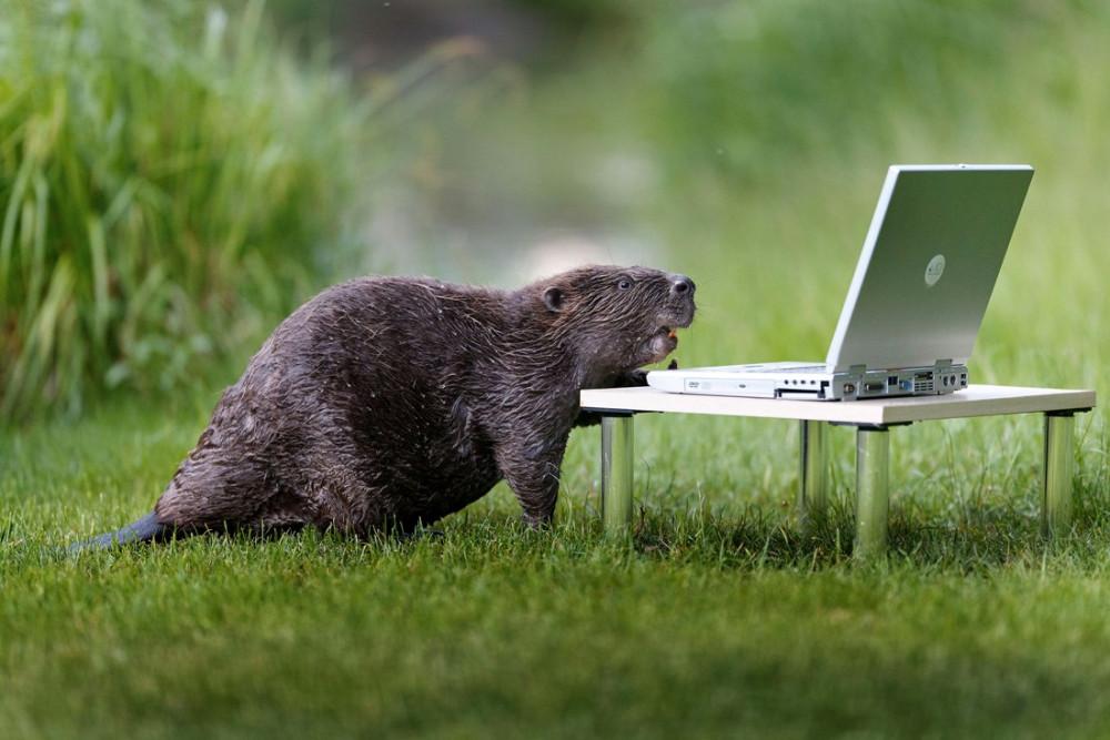 Beaver-pixanews-3