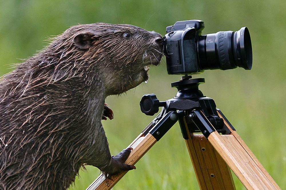 Beaver-pixanews-5