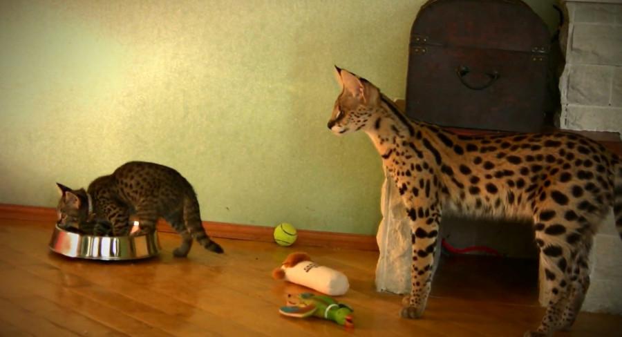 Кота первого в домашних условиях 379