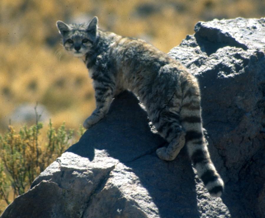 Andean_cat_1_Jim_Sanderson