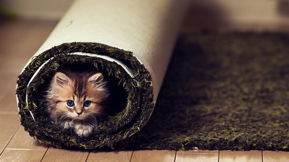 Daisy_kitten_11