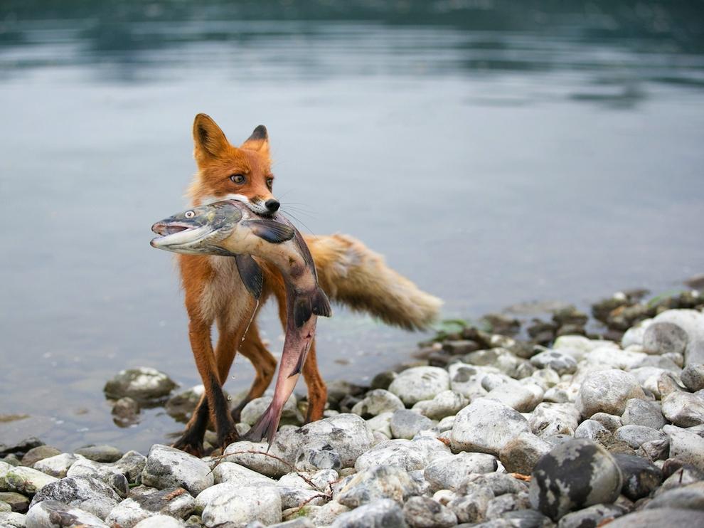 fd_fox_1407483513_big