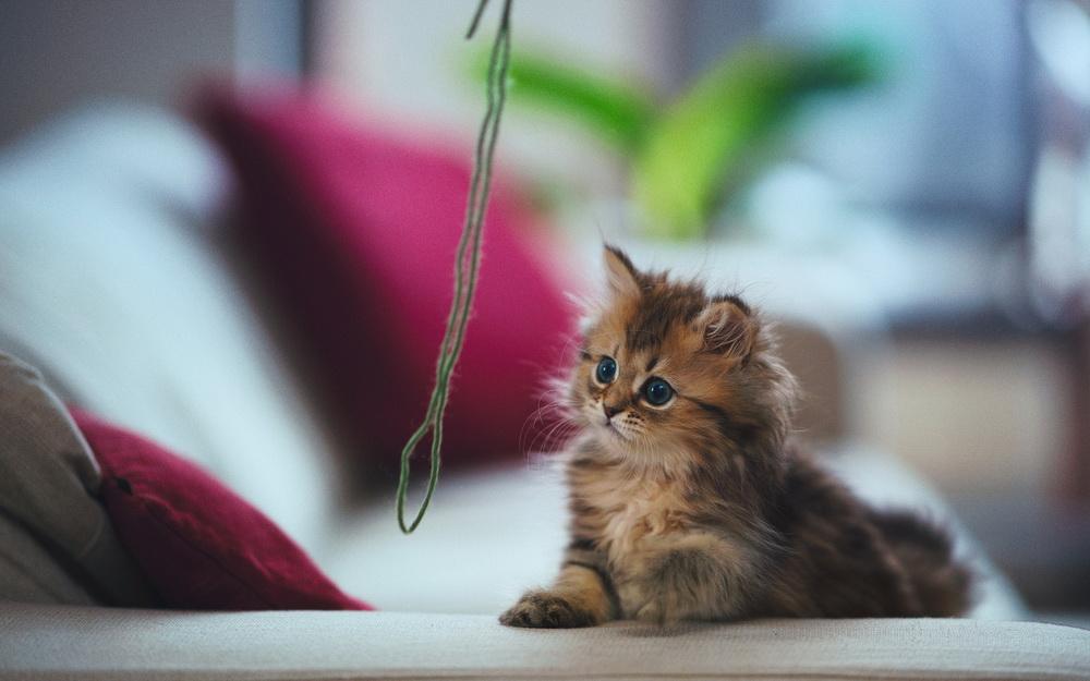 Daisy_kitten_16