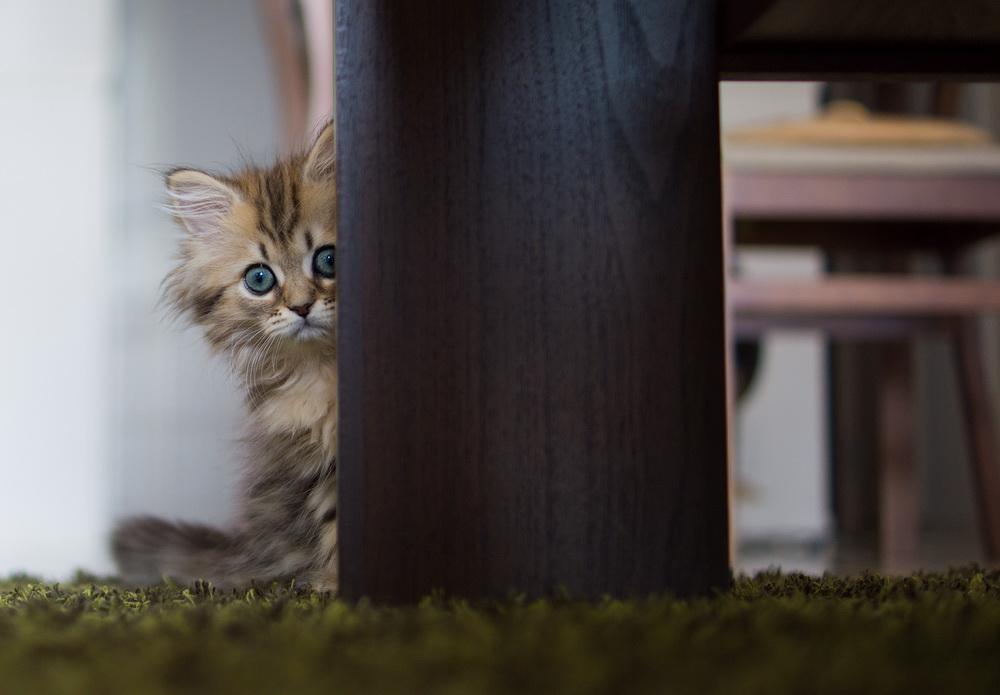 Daisy_kitten_28